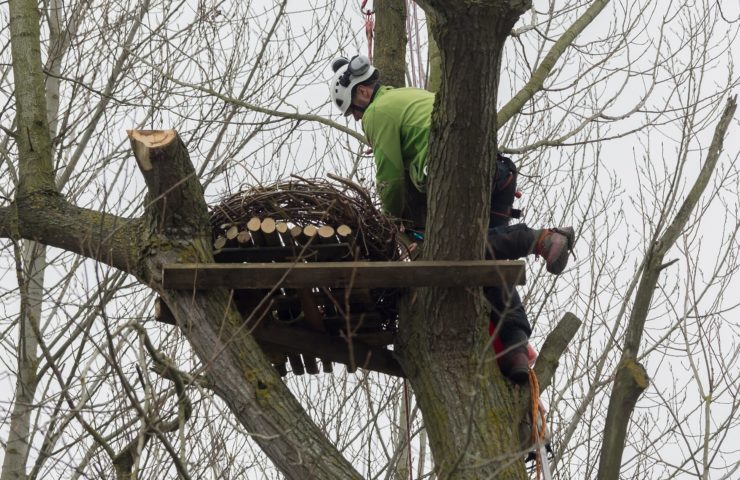 Ospreys at Lower Mill Estate in the Cotswolds