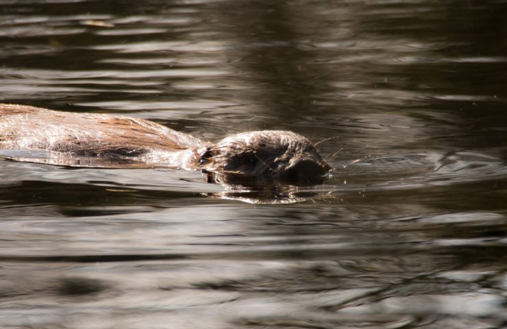 Beavers and otters at Lower Mill Estate in the Cotswolds